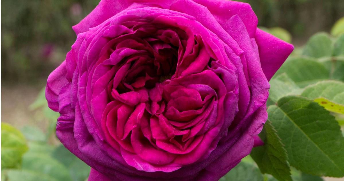 Rosa Augusta Palatina, ph © Monti